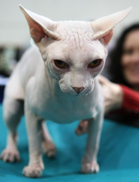 What Do You Know About Sphynxes?