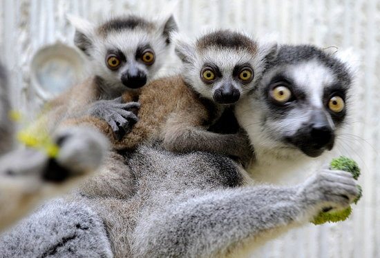 Pictures of Twin Lemur Babies in Germany