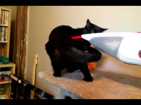 Video of Cat That Likes Vacuum