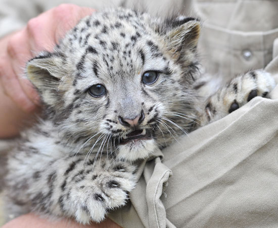 Pictures of Baby Snow Leopards | POPSUGAR Pets