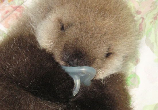 Pictures of Baby Otter