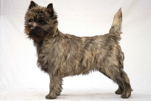 Cairn Terrier Trivia