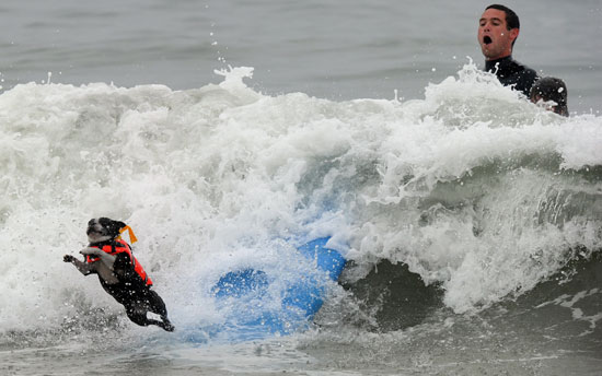 Pictures of Dogs Surfing