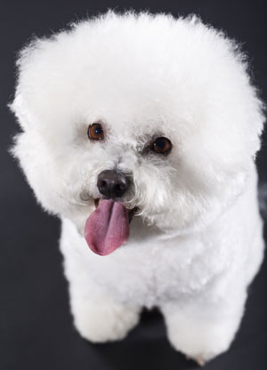 Bichon Frise Breed Facts
