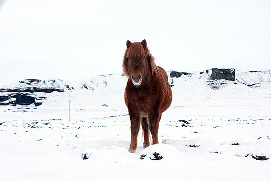 What Is an Icelandic Horse?