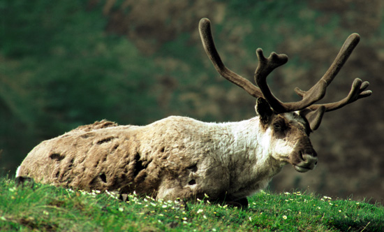 Reindeer Trivia and Information About Reindeer