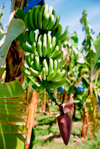 Could Tropical Race Four Take Out the US Banana Supply?