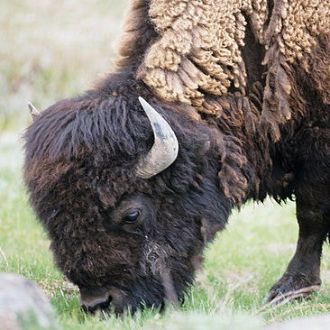 Bison Prices Skyrocket as Demand Exceeds Supply