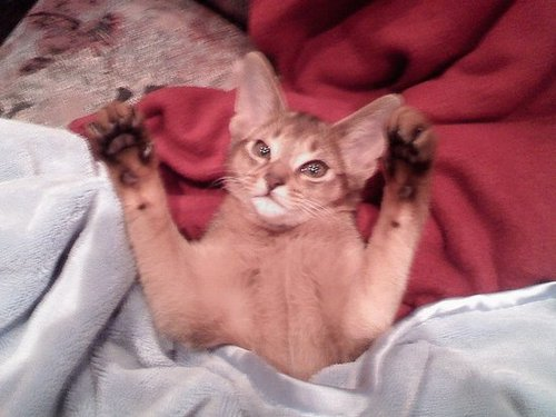 my abyssinian kitten, peanut waking up from his nap