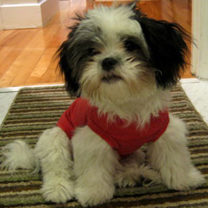 Facts About Shih Tzus