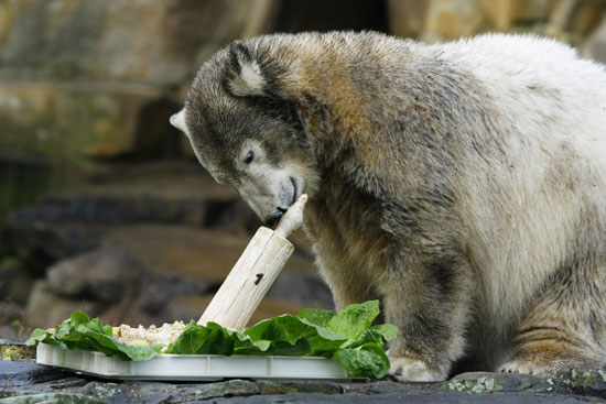 """A much more grown-up Knut celebrates his first birthday with a """"cake"""" of fish and salad."""