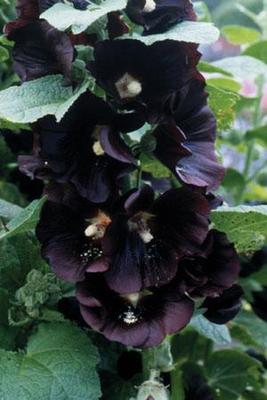 Alcea rosea 'Jet Black' Seeds
