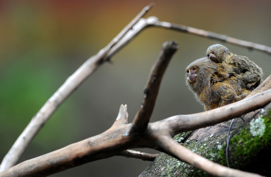 In captivity, these mini marmosets can live to be 20 years old. In the wild, they generally live to 11 or 12.