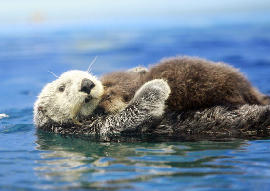 This Russian sea otter embraces her new baby at the Sunshine International Aquarium in Tokyo.