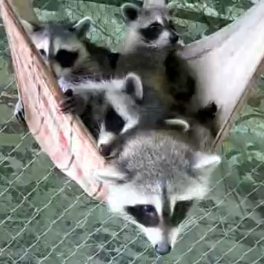 Baby Raccoons Hanging in a Hammock