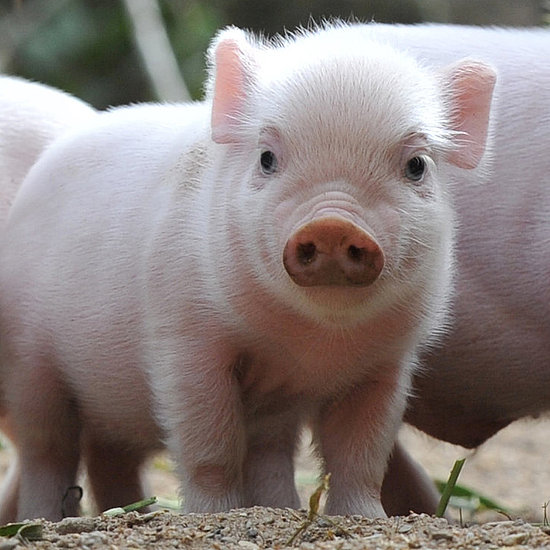 Precious Piglets at the Zoo