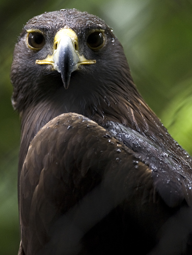 Though it has been pushed out of many of its former habitats, the golden eagle is still found in large numbers just outside San Francisco, CA.