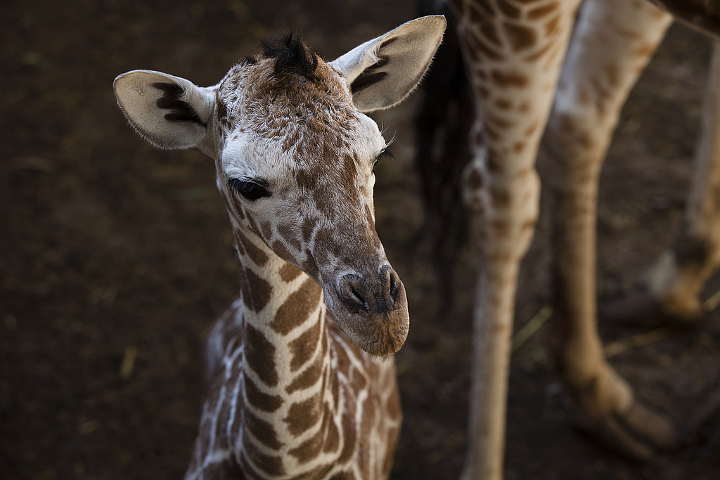 A baby giraffe can stand half an hour after being born.