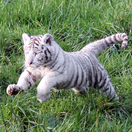 Image Result For Cute Baby Tiger Videosa
