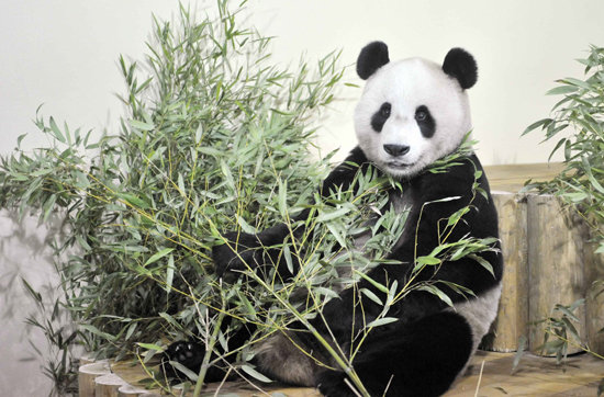 Unbearably Cute Guests Cause Panda