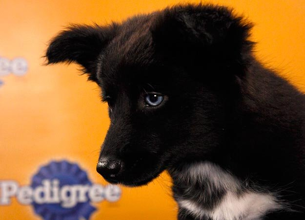 Will Abilene, an Australian shepherd mix, Texas Two Step her way to victory? Source: Animal Planet