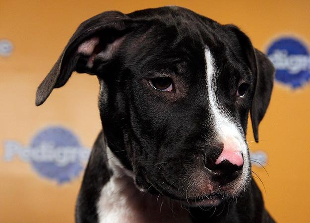 Pit bull mix Anthony is ready to rumble! Source: Animal Planet