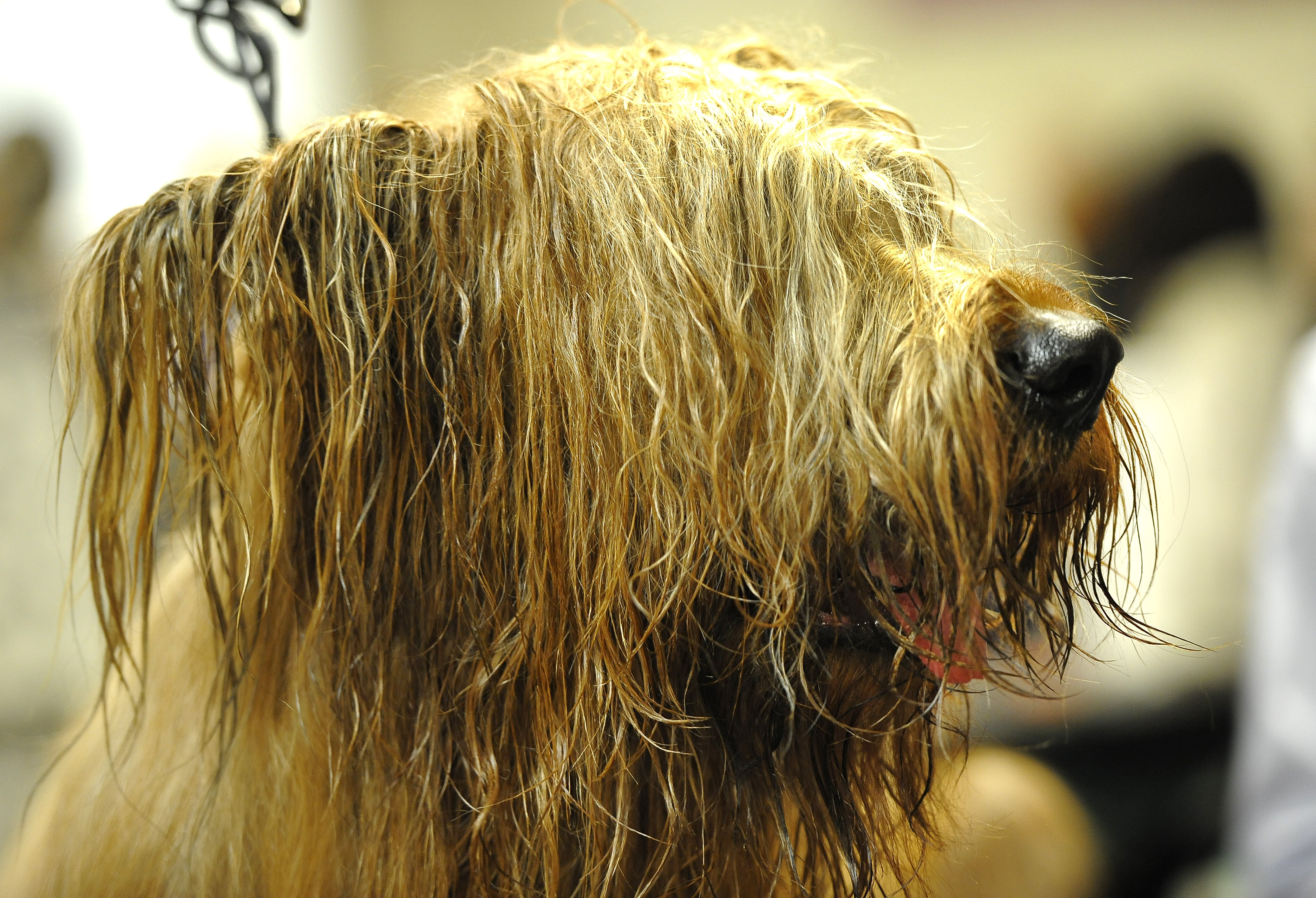 Rudee the Briard wrings himself out after bathtime.