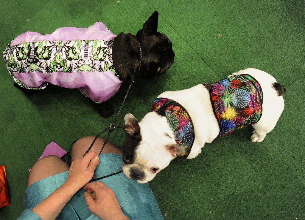 A pair of Frenchies rocking some serious backstage fashion!
