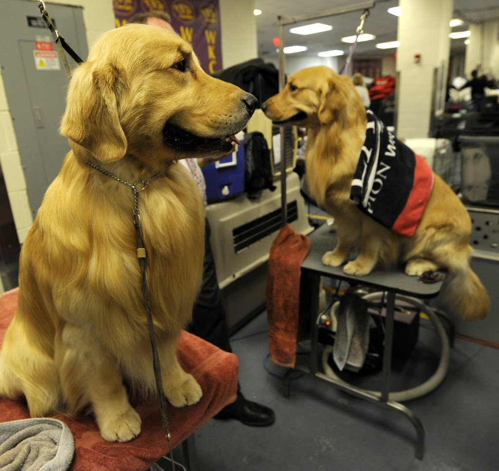 Backstage with the Golden Retrievers.