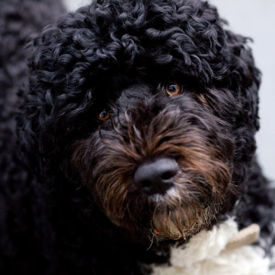 First Dog Bo Obama Pictures For Presidents' Day