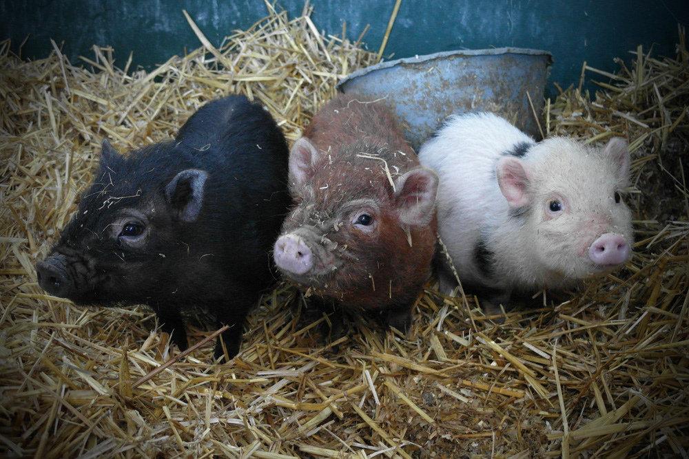 Hey, this is none of your hog-gone business! Source: Flickr user Meneer Zjeroen