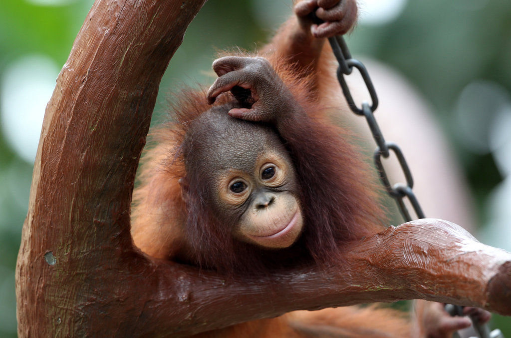 What's next? Changi contemplates more mischief at Krefeld Zoo.