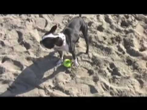Best Boston Terrier Video Ever (And I'm Not Exaggerating!)