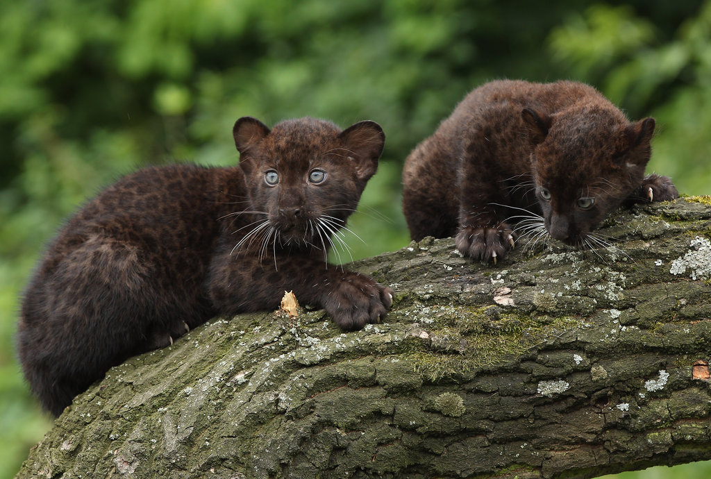 animal panthers cubs - photo #12