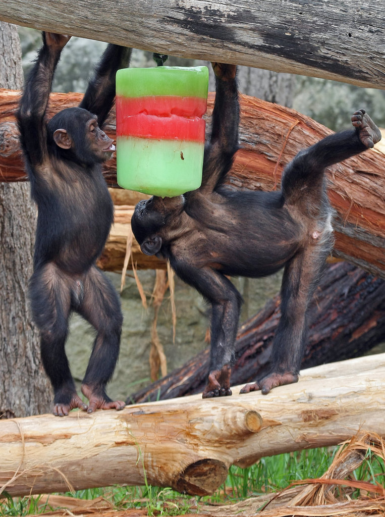 Young chimpanzees jump from foot to foot for a colorful block of ice at Sydney's Taronga Zoo.
