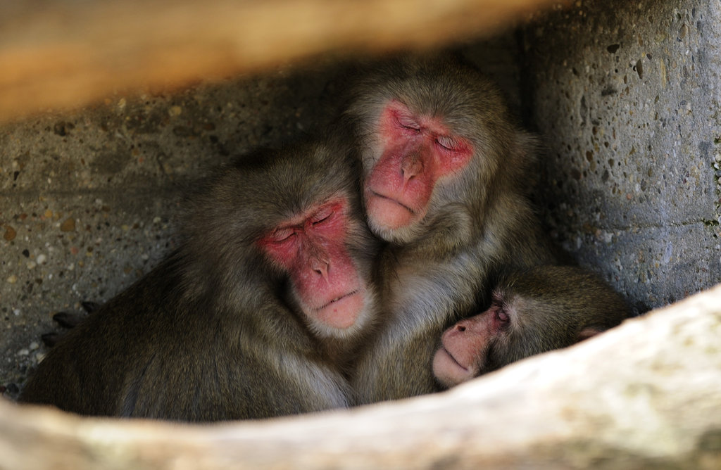 Japanese macaques find solace in numbers with a snooze in the shade in Stuttgart, Germany.