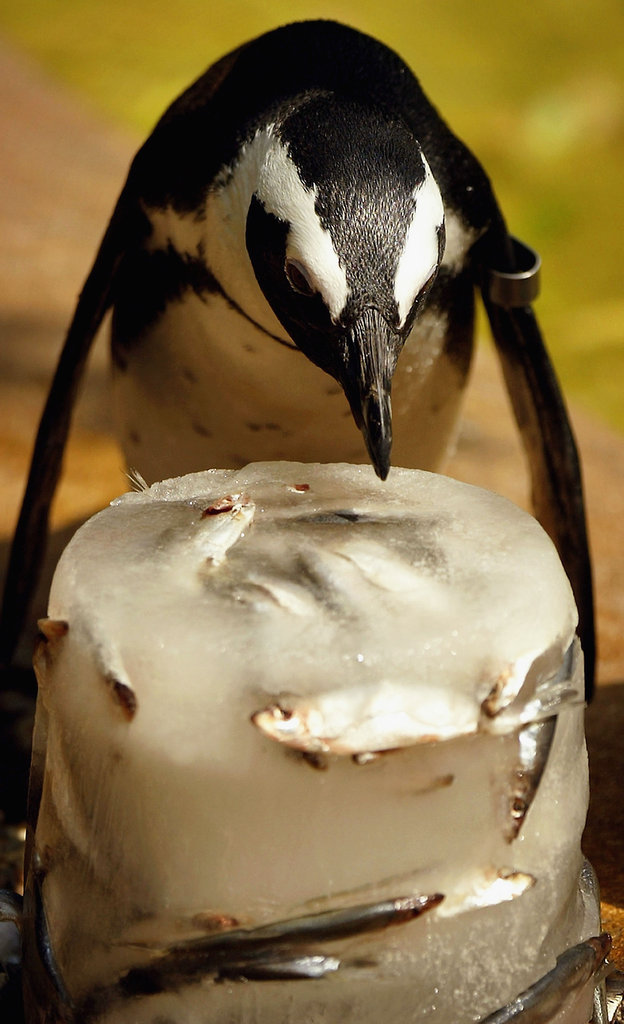 A penguin stakes his claim on a fish-filled ice block at the London Zoo.