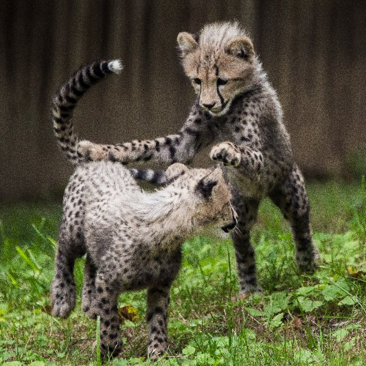 Cheetah Cubs at Smithsonian National Zoo | Pictures