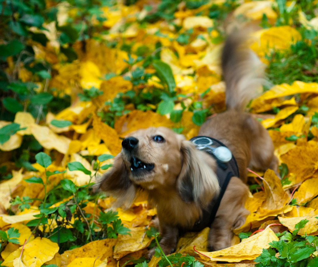 Just because I'm small doesn't mean I can't protect my leaf pile! Source: Flickr user Soggydan