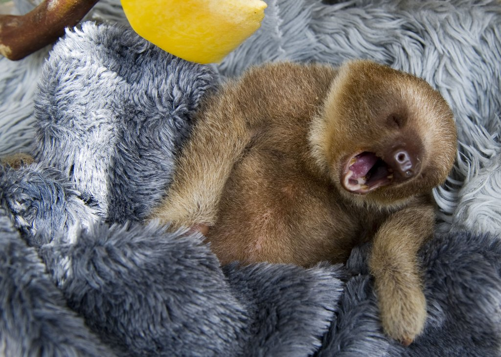 baby two toed sloth - photo #11