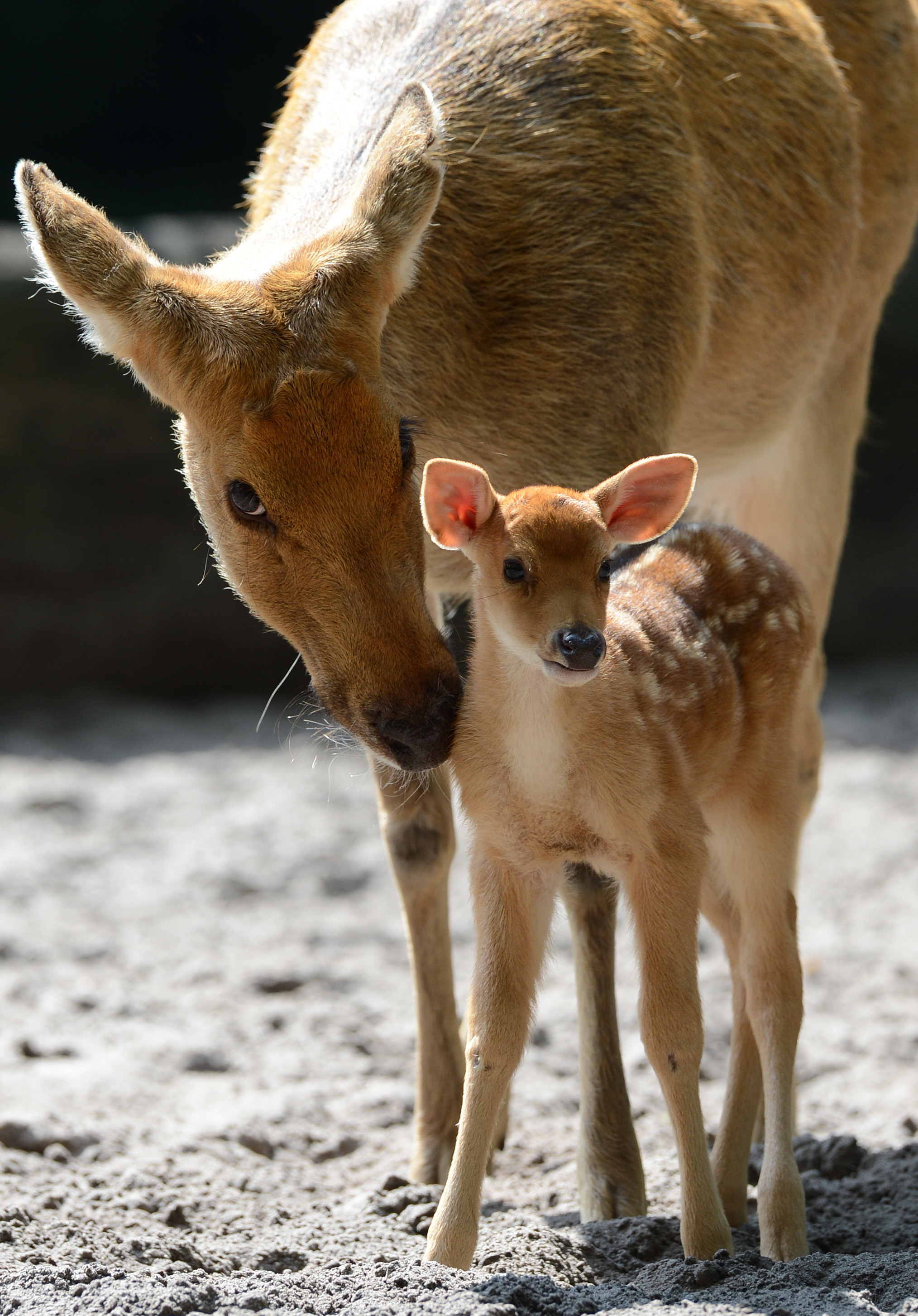A young Barasingha deer gets his name from the 12 prongs ...