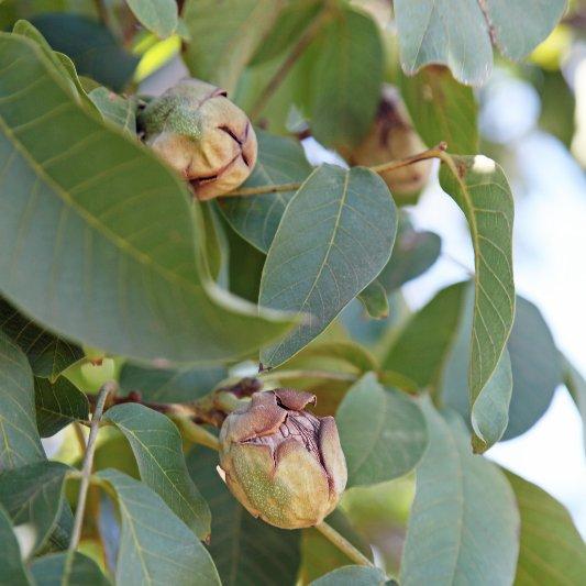 Walnut Harvesting Season Pictures