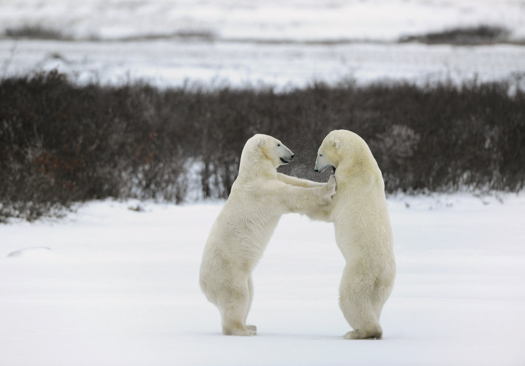 It looks like these two polar bears were slow-dancing at a snowy prom.