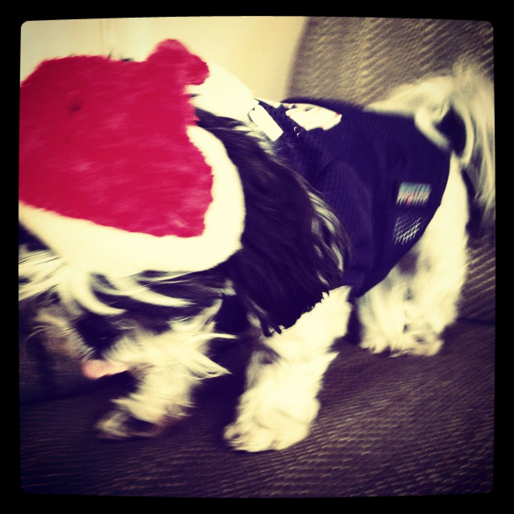 Account Manager Carly Schneider's Shih Tzu, Ivy, dressed up as Santa for a photo op.