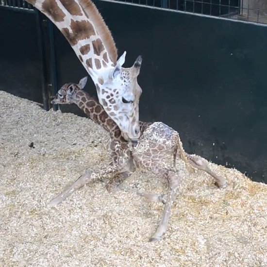 Rare Baby Giraffe Stands For the First Time