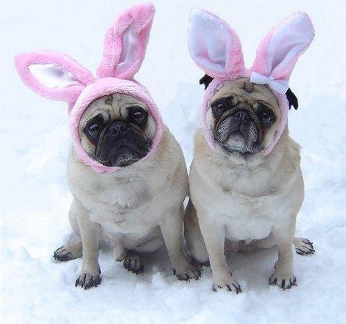 Cute Pug Bunnies