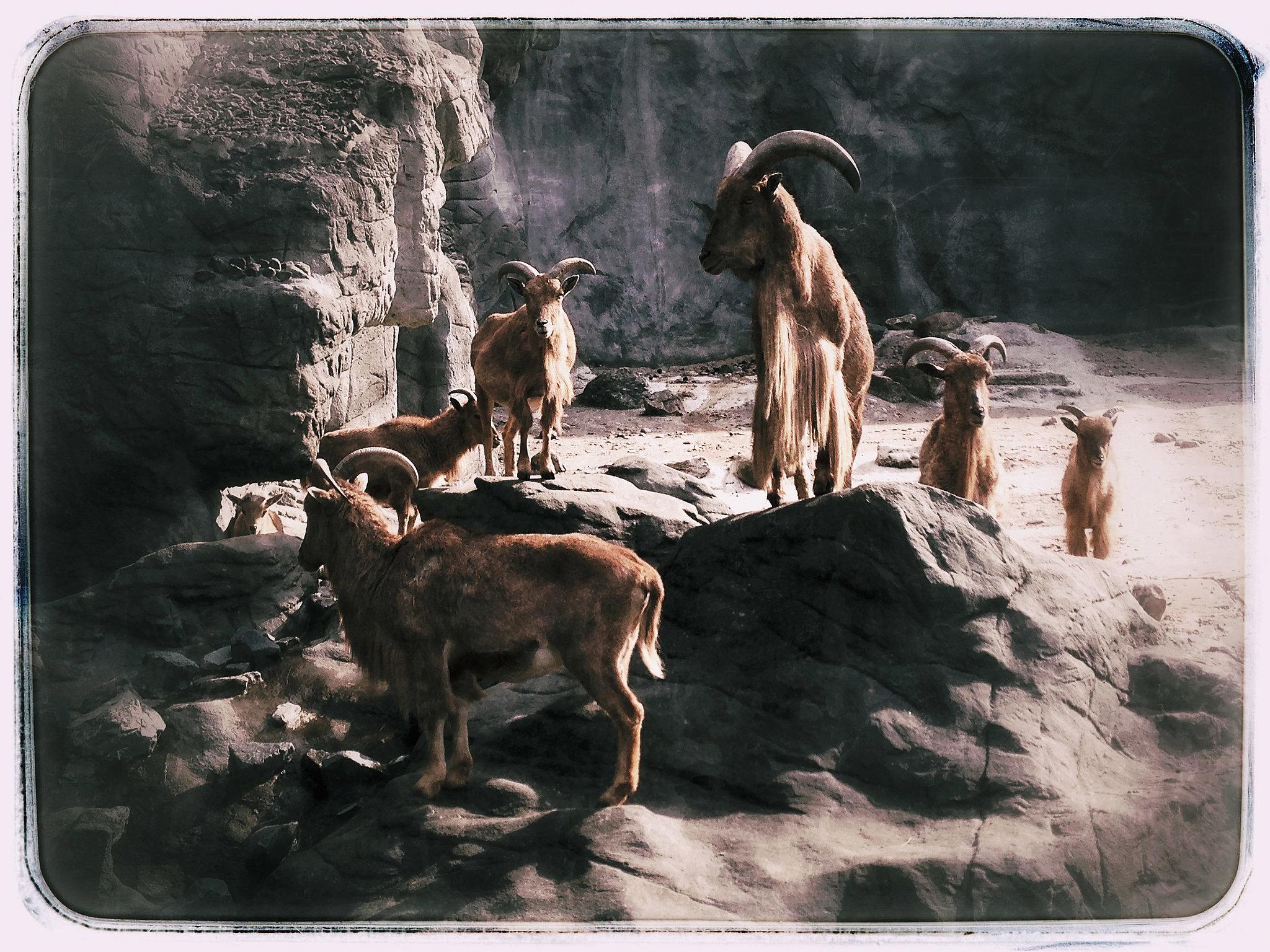 Glorios Goats