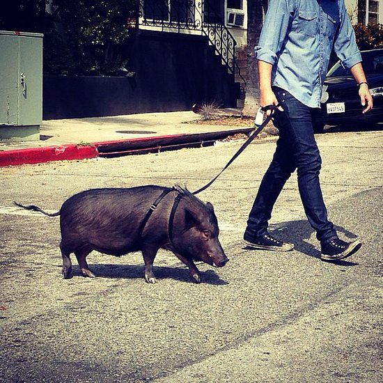 Pigs on Leashes