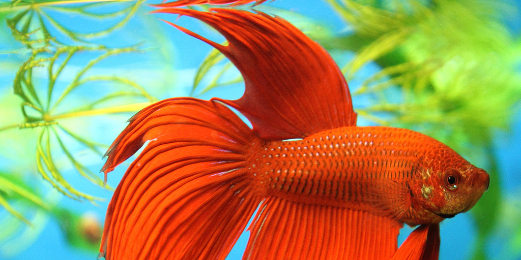 Fun Facts and Helpful Tips About Betta Fish
