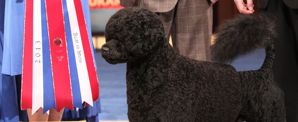 Portuguese Water Dog Takes Best in Show